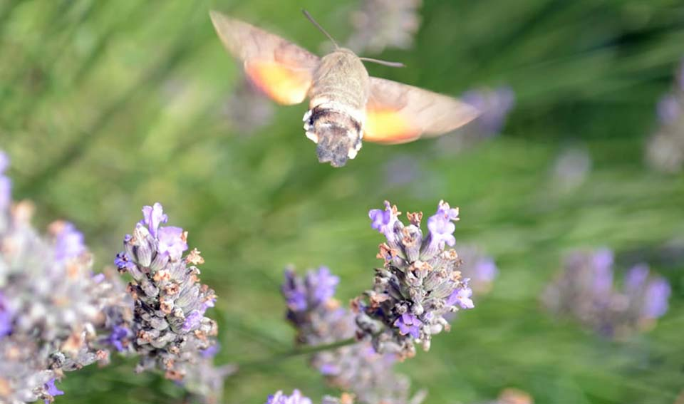 humming bee on lavender